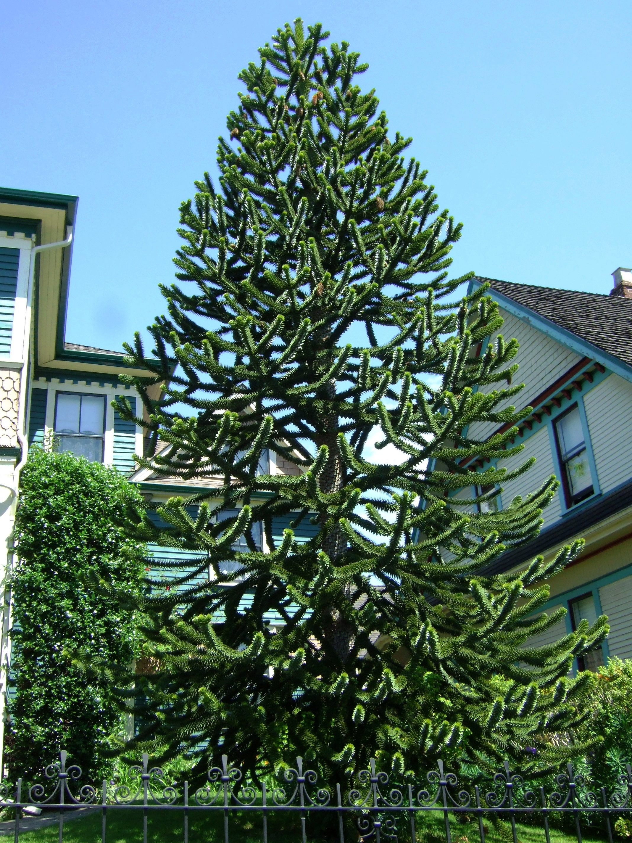 araucaria araucana monkey puzzle tree photography by