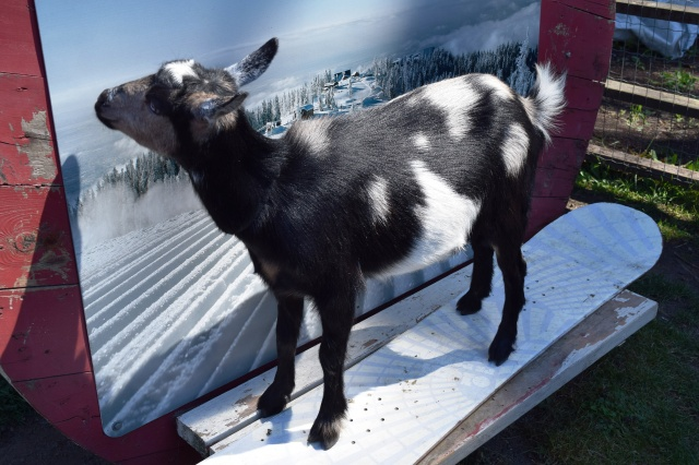 A snowboarding goat