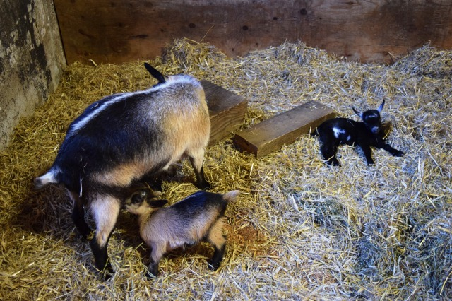 Mama goat and her kids