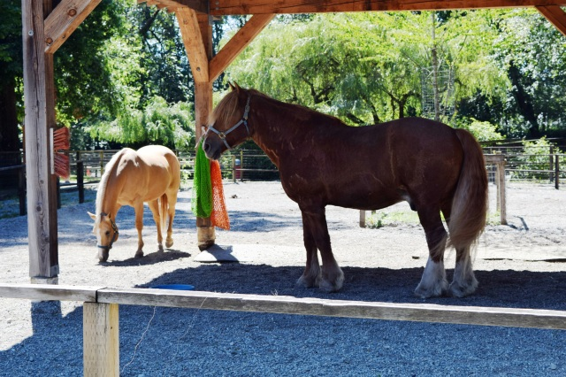 Suzy the American Quarter Horse and Tom the Belgian Draft Horse